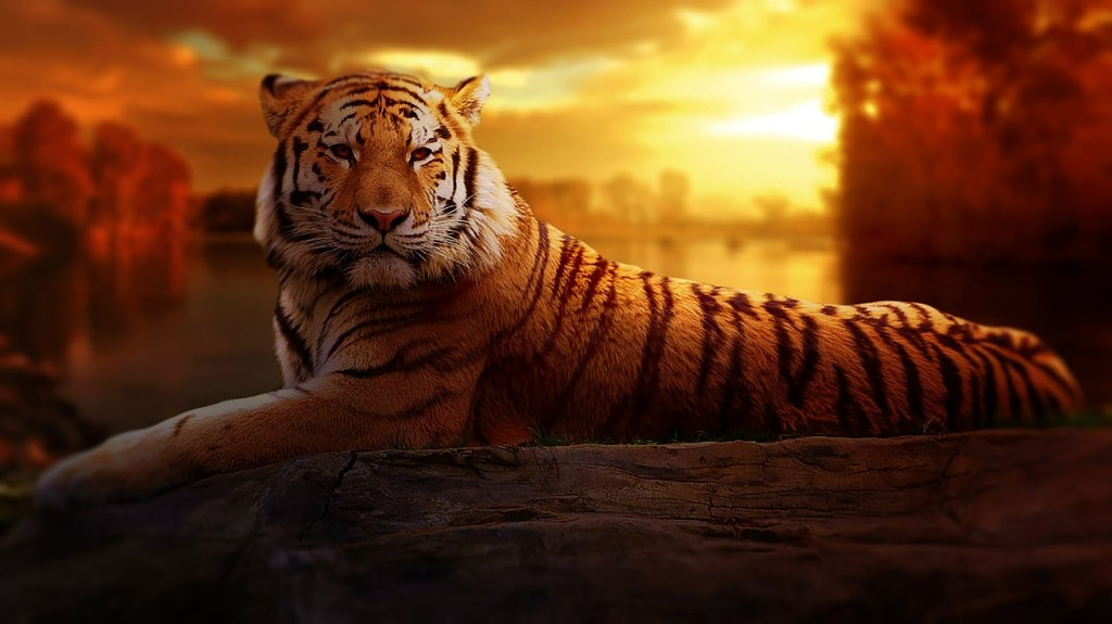 Photo: Tiger and sunset