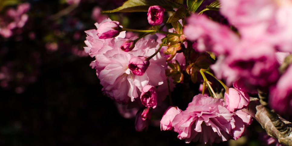 image, spring, flowers, blossoms, pink