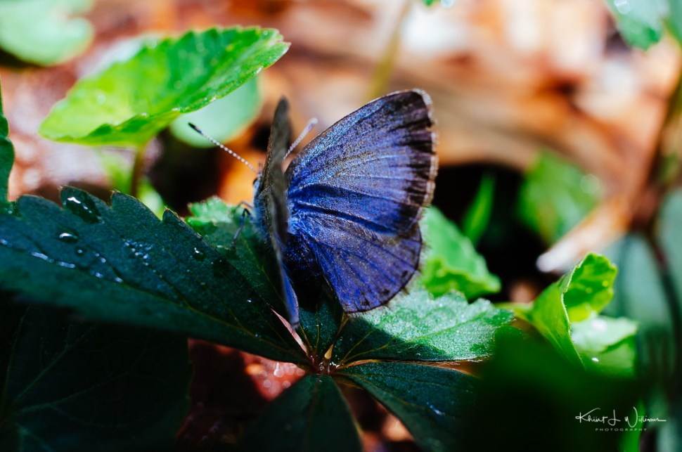 butterfly, spring, sourland mountain