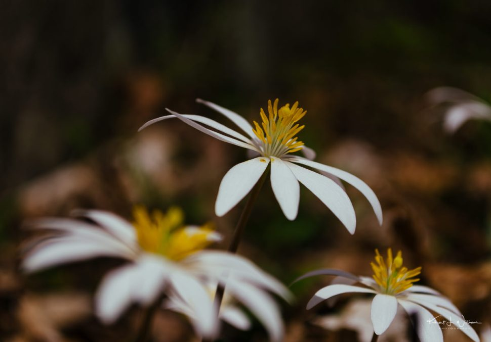 flower, sourland mountain, Bloodroot