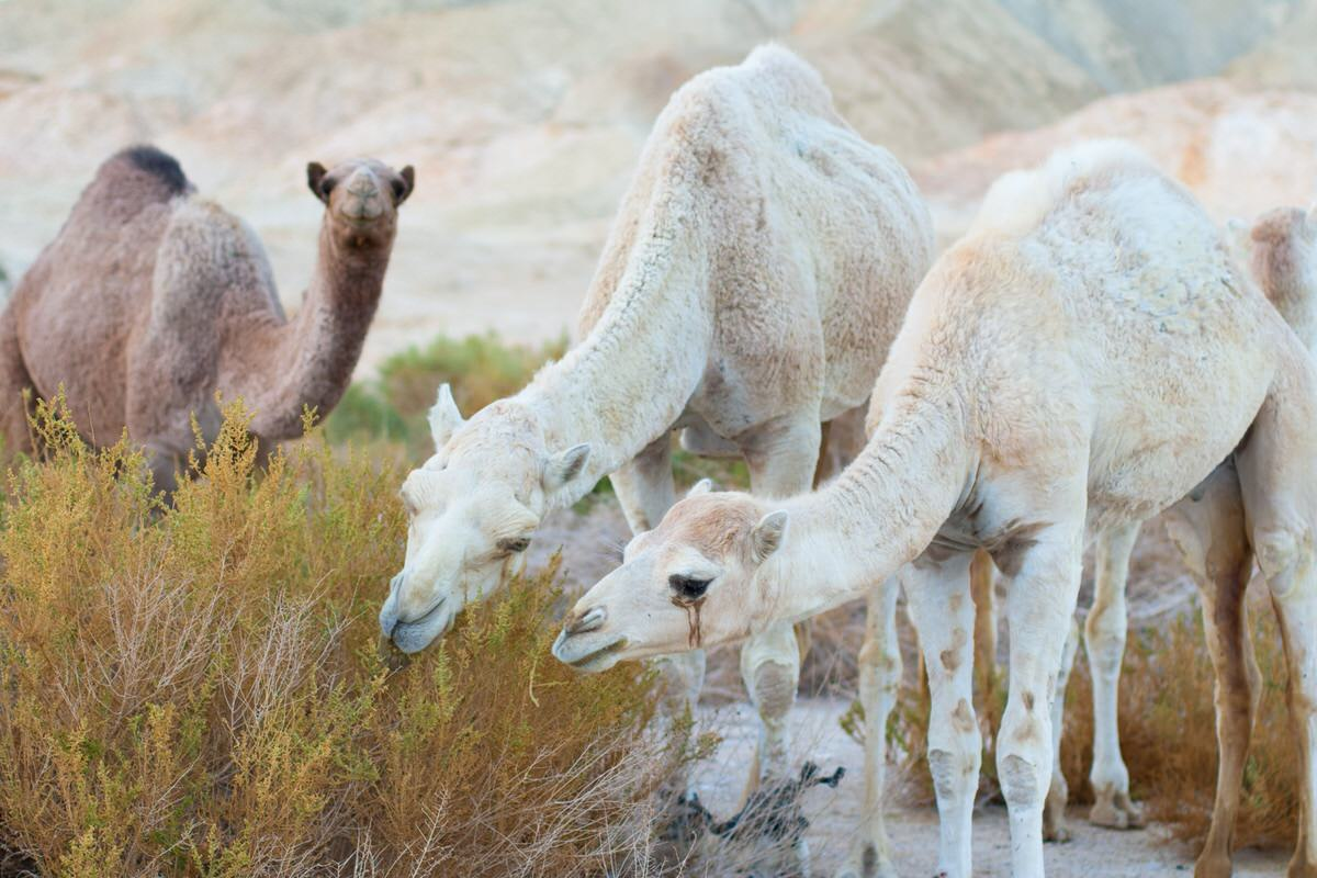 Camel POOP – Perl Object Oriented Programming