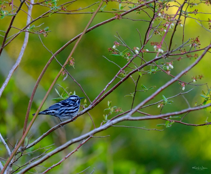 Warbler, Black and White, Bird