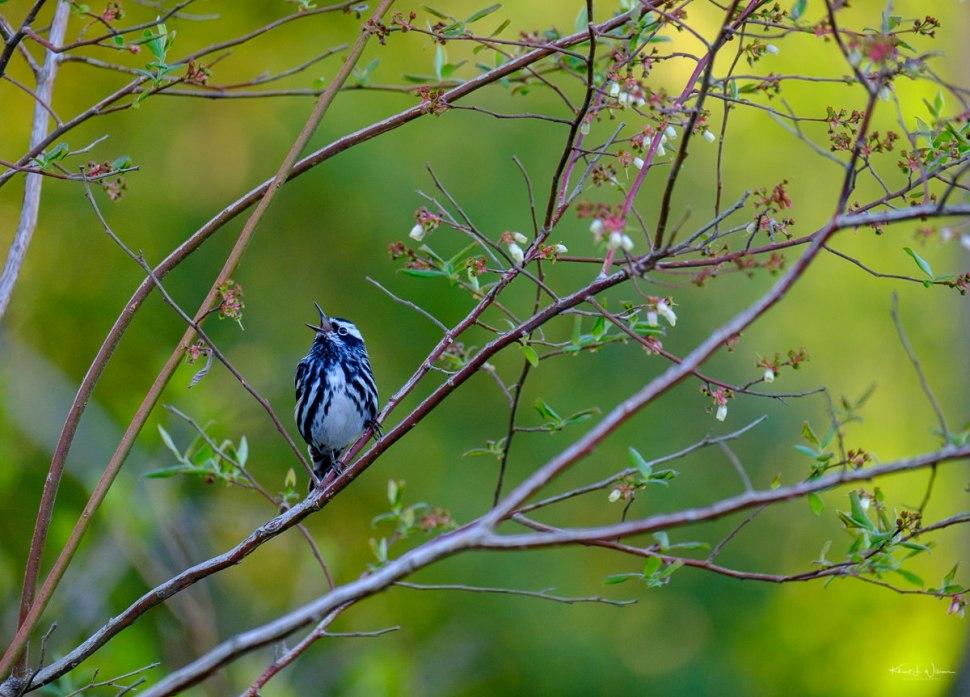 Warbler, Bird, Black and White Warbler