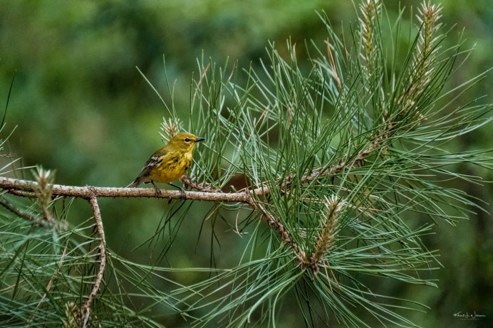 Pine Warbler —FujiFilm X-T2 + XF100-400mmF4.5-5.6 R LM OIS WR @ (359.6 mm, 1/500 sec at f/5.6, ISO12800)