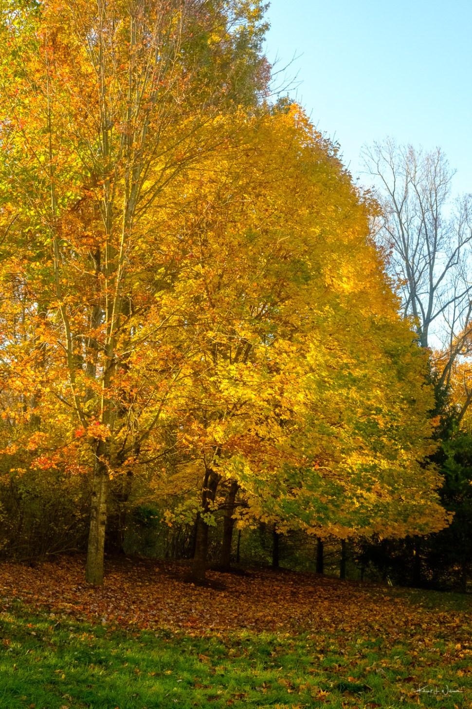Tree in fall splendour