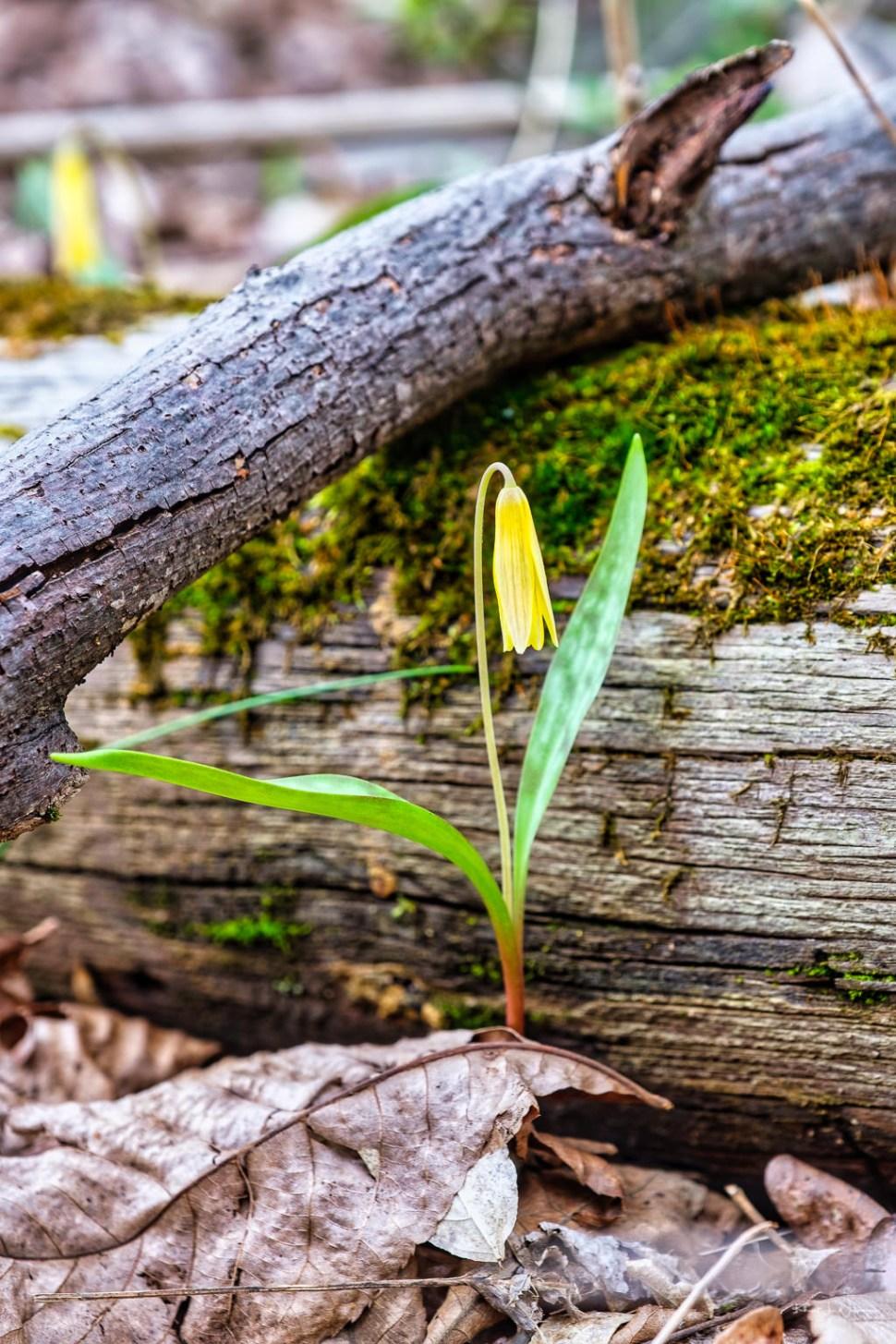 Erythronium americanum ( Trout Lily )
