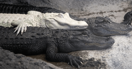 NC Aquariums Albino Alligator