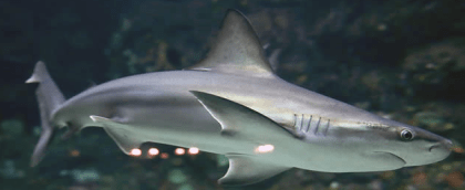 NC Aquariums Sharks