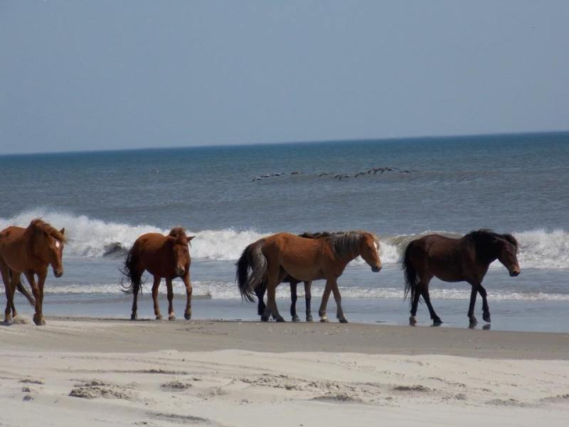 Status Of Outer Banks' Wild Horses