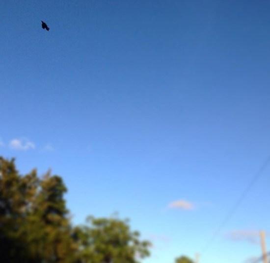 blackbird in the sky