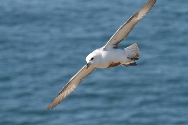 fulmar-flying