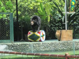 Beruang Menggelinding
