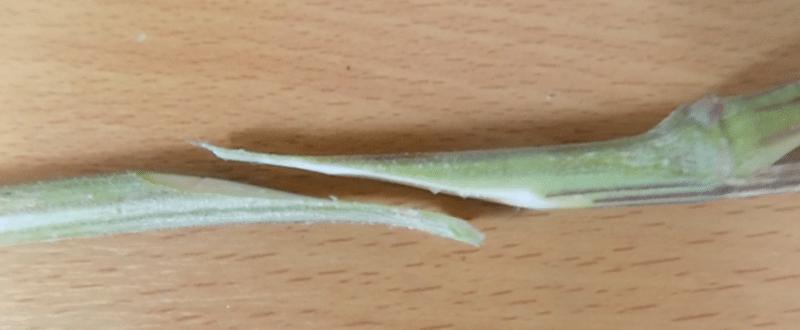 , Grafting Cannabis: Multiple Strains on One Plant, ISMOKE