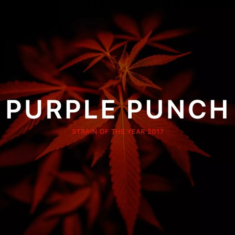 Purple Punch Strain Focus