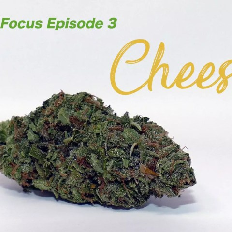 Cheese Strain Focus