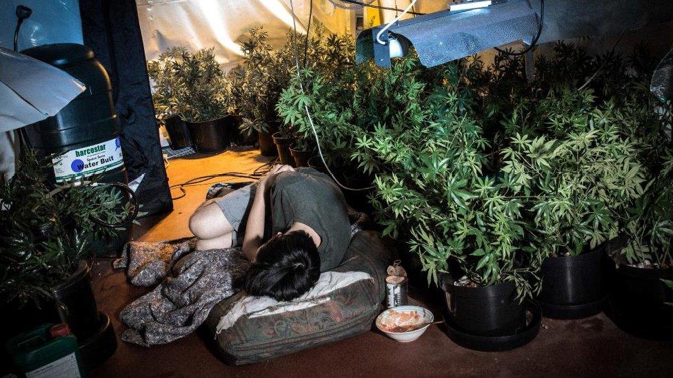 Esclavos, engaños y plantaciones urbanas: así es la mafia china de la marihuana en España