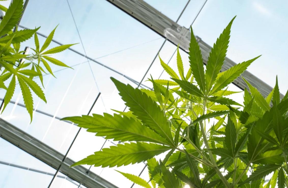 No todo es CBD: Estos 5 cannabinoides también están siendo usados para la salud y la belleza