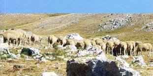 Ovejas Anatolia