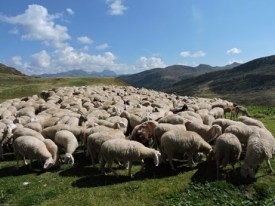 anatolia sheep 2