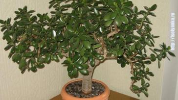 Как правильно посадить денежное дерево, чтобы в доме денежки водились!