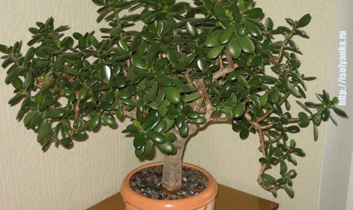 tolstyanka   Как правильно посадить денежное дерево, чтобы в доме денежки водились!