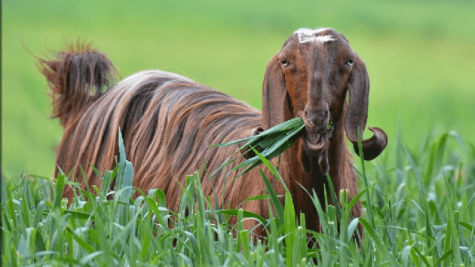 дамасские козы шами