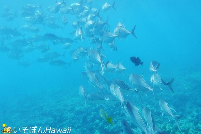 ハナウマ湾魚群の写真