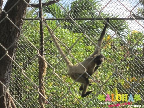 ホノルル動物園内12クモザル画像