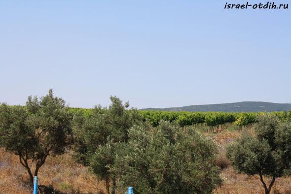 виноградник Израиль фото