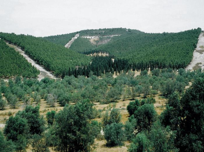 Forested Israeli desert