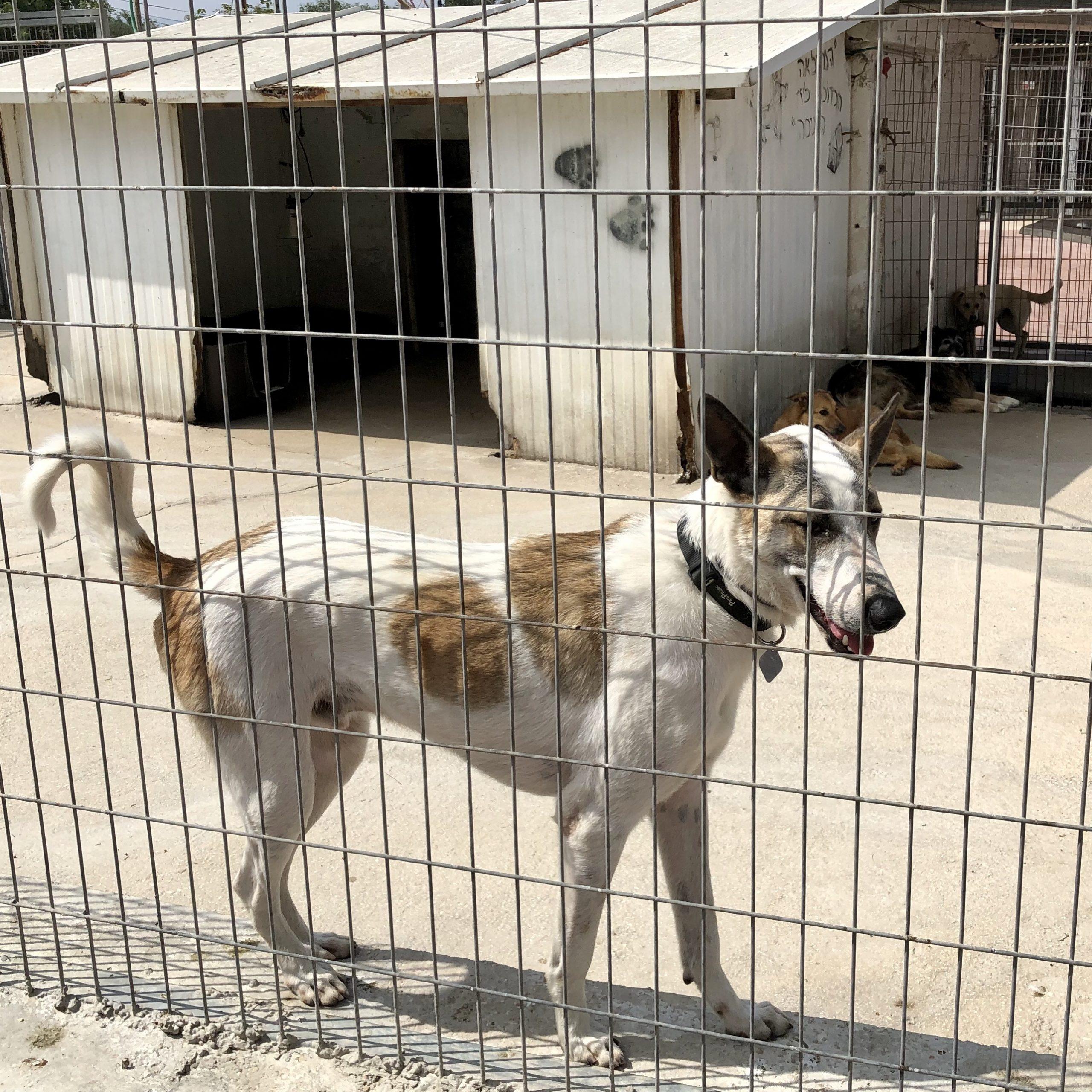 Dog adoption in Israel