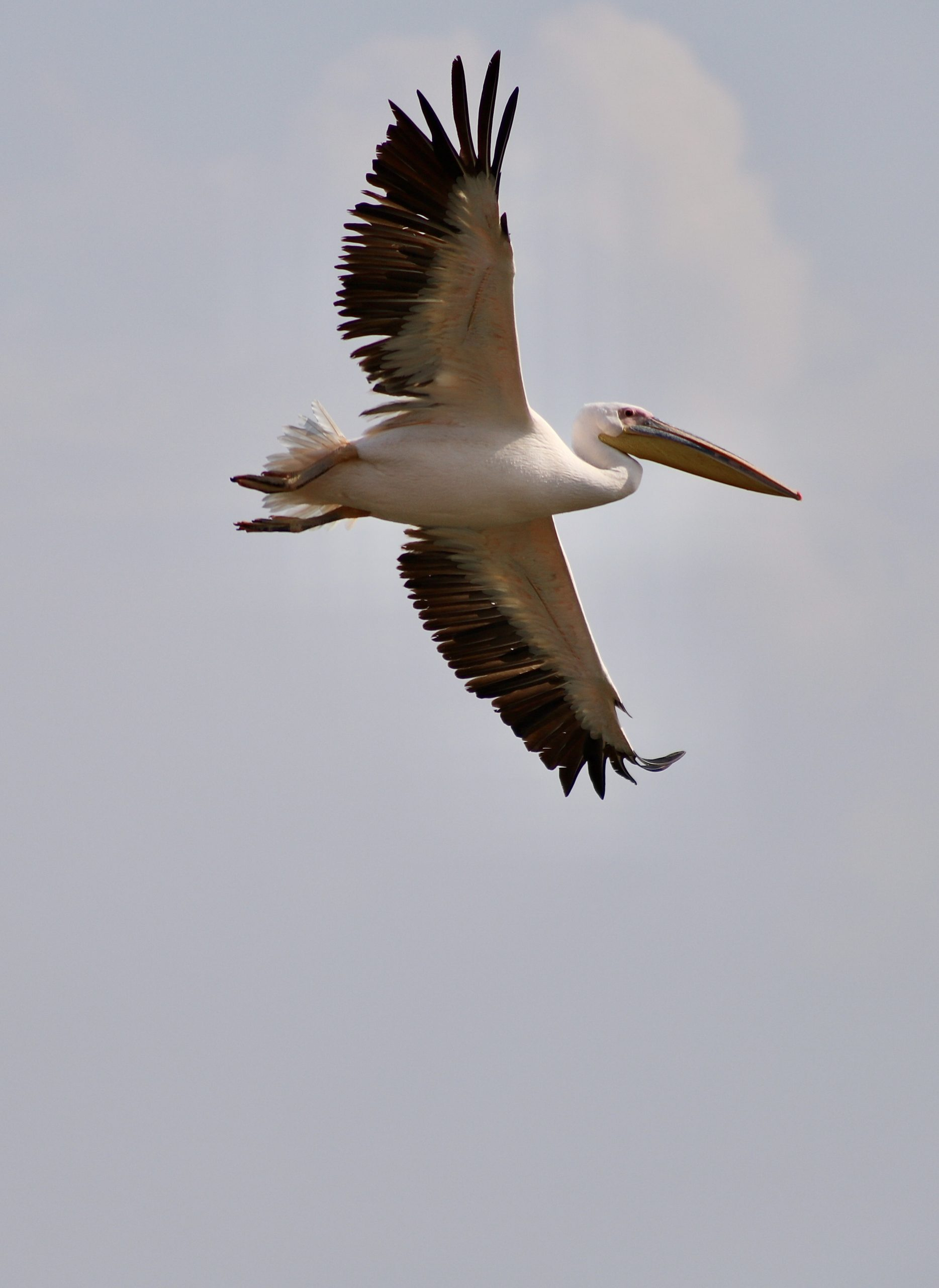 Pelican Migration At Ma'ayan Harod National Park