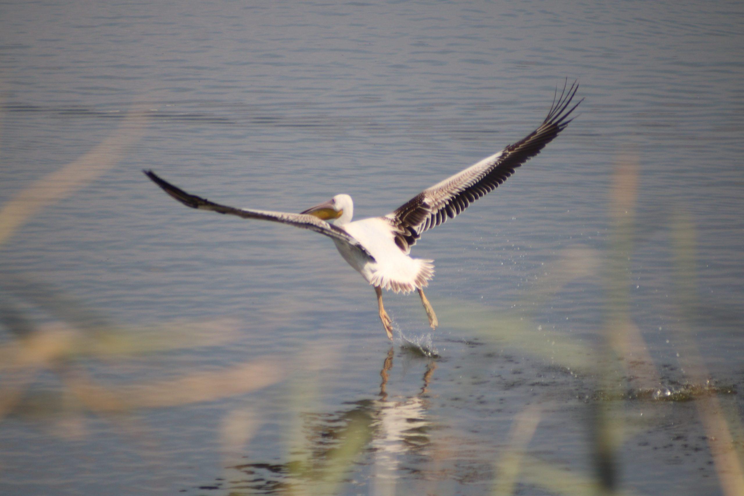 Pelican Migration At Ma'ayan Harod National Park