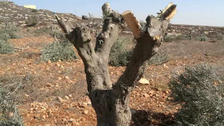 Israeli settlers, with IDF complicity, have destroyed 800,000 olive trees since 1967