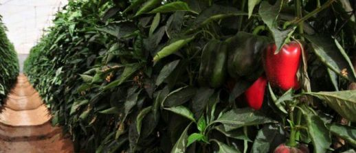 arava-pepper