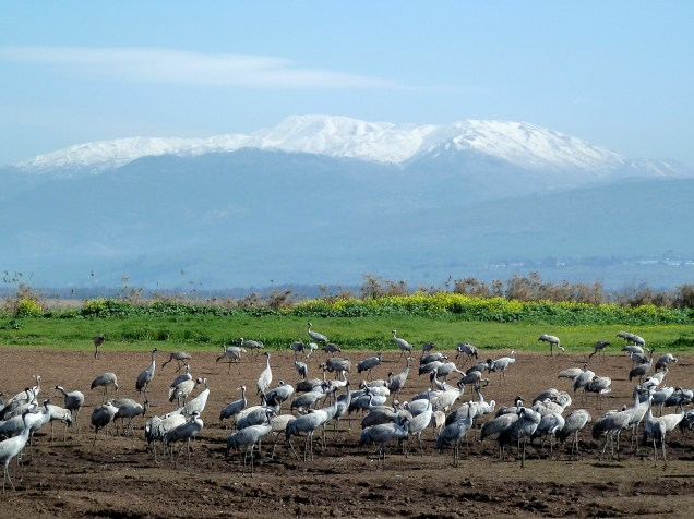 Cranes at Agam HaHula