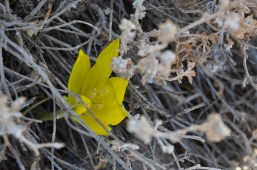 Sternbergia 1