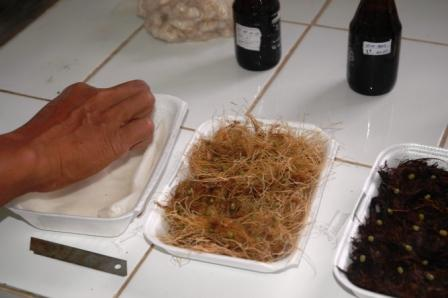 uji kompos dengankecambah