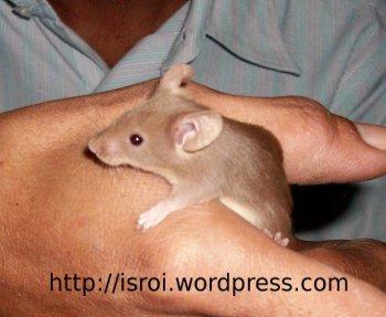 tikus coklat nan eksotik