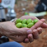 Olive Harvest West Bank