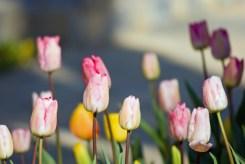 lila tulips