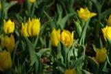 istanbul_tulip_festival_lale (15)