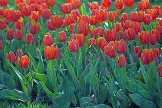 istanbul_tulip_festival_lale (6)