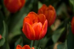 istanbul_tulip_festival_lale (7)