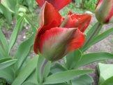 istanbul_tulip_festival_eleka_rugam_rebane-2