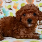 Cuddly Malti Poo Puppies Malti Poo Puppy In Grand Rapids Maltipoo