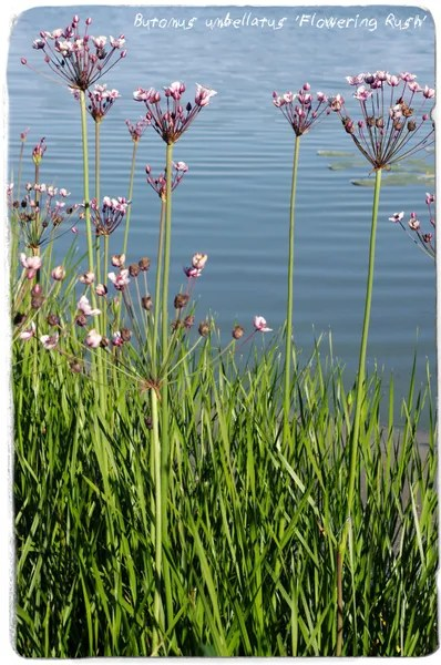 British Native Pond Plants