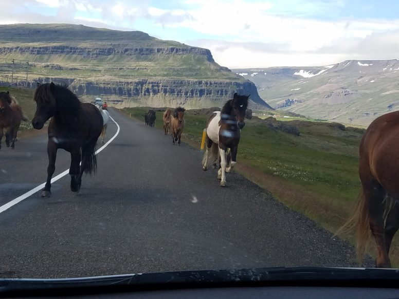 Icelandic Horses in the Road