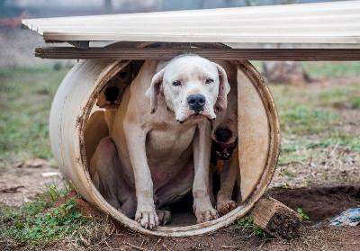 hsus rescues dogo argentino from hog-dog fighting operation