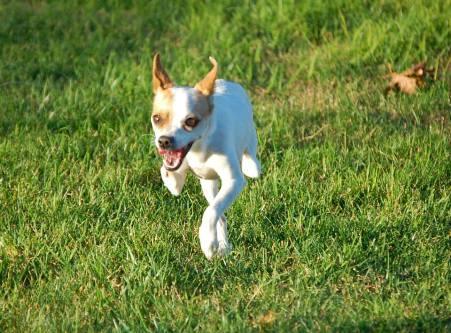 joey 2-legged chihuahua
